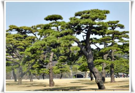 皇居前の松並木