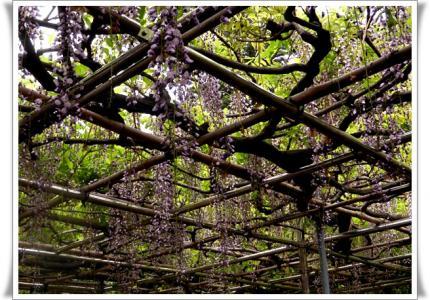 樹齢400年野田藤