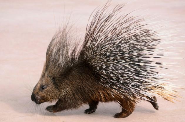 Porcupine1.jpg