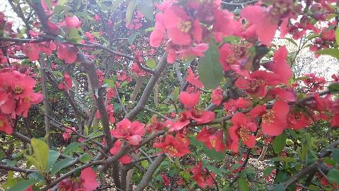 元町公園・ボケの花