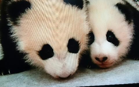 アドベンチャーワールド・双子のパンダ