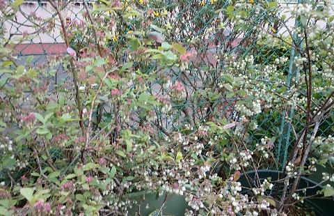 ブルーベリーの花(サザンハイブッシュ系)