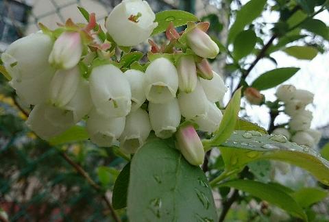 ブルーベリーの花(サザンハイブッシュ系)③