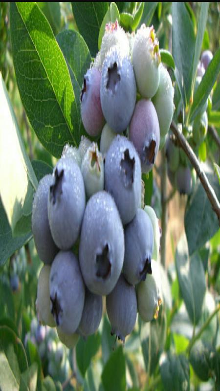 続、ブルーベリーの果実
