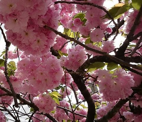 磯路・さくら通り/八重桜