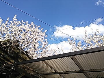 3月23日桜