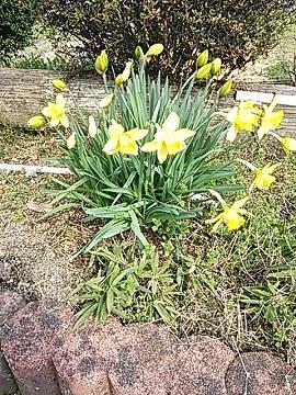 3月23日花壇のスイセン