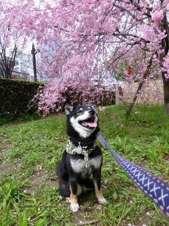 お花見~元茨木川緑地~25