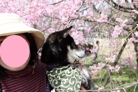 お花見~元茨木川緑地~31