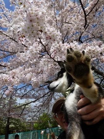お花見~元茨木川緑地~40