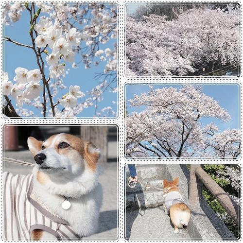 お花見散歩☆