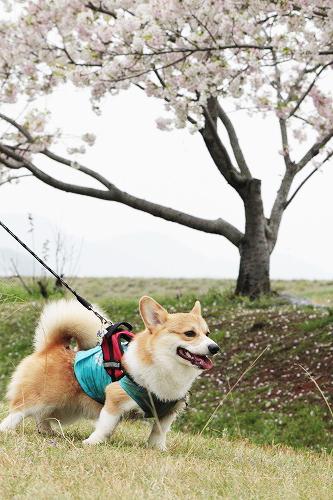 桜とランチ君