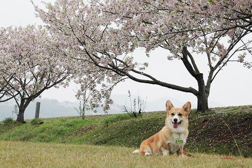 桜ともなか君