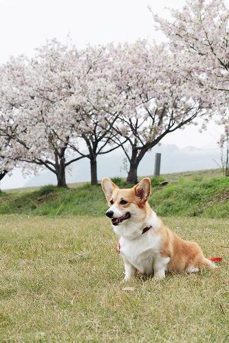 桜とふぅちゃん