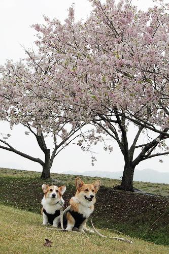桜と坊ちゃん'S