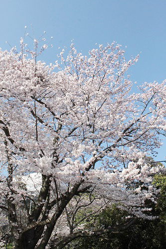 桜を見に~