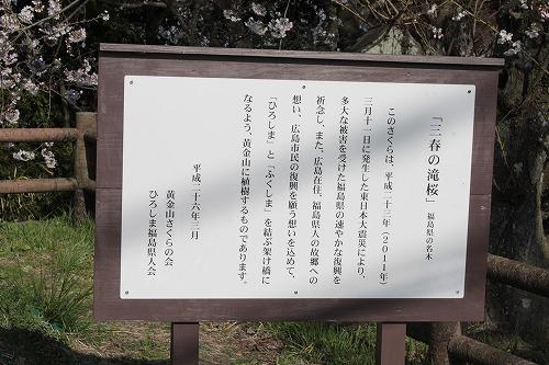 去年植樹した福島の桜