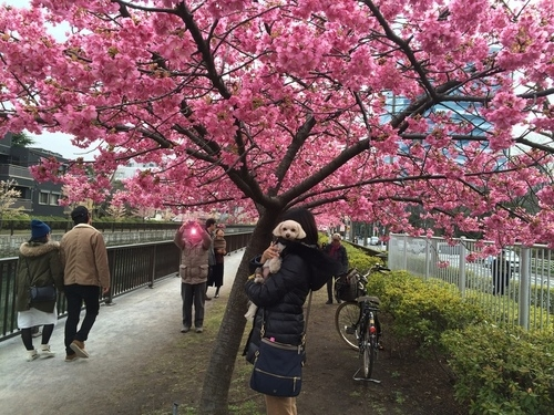 桜とらっくん②