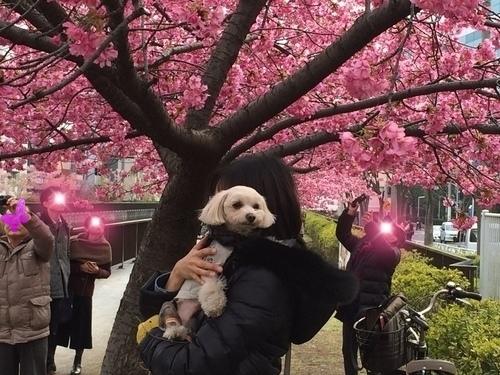 桜とらっくん③