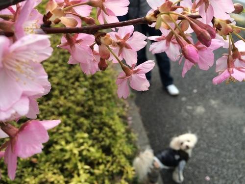 桜ごしらっくん①