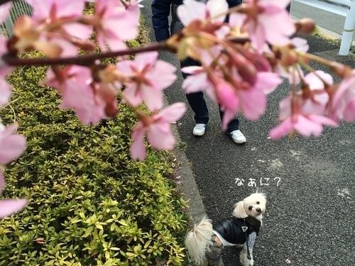 桜ごしらっくん②