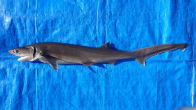 エドアブラザメ