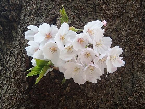 150330砧の桜 (5)
