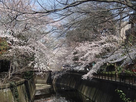 150330砧の桜 (11)