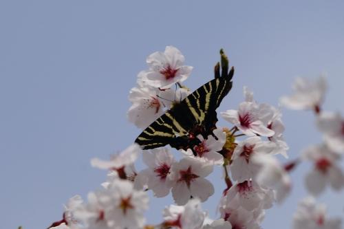 ギフチョウ 桜コラボ♪