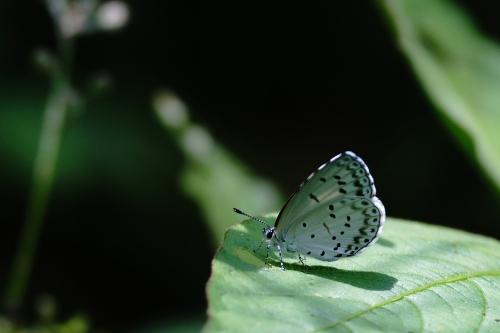 ヤクシマルリシジミ1