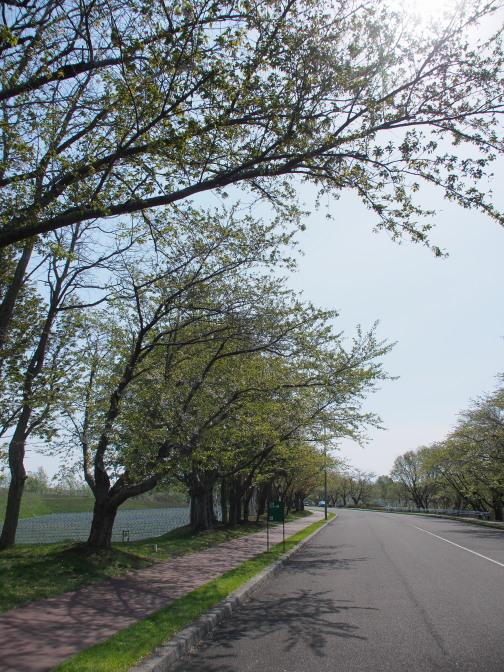 戸田墓園の…葉桜