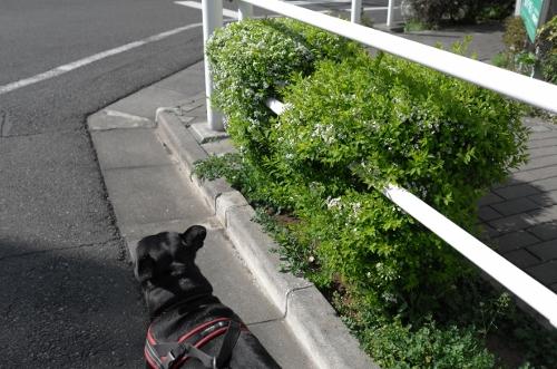 2015お花見散歩1