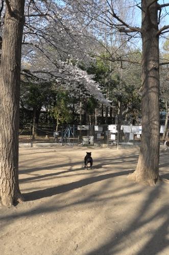 2015お花見散歩4