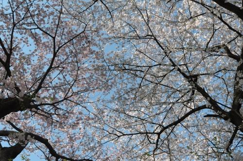 2015お花見散歩7