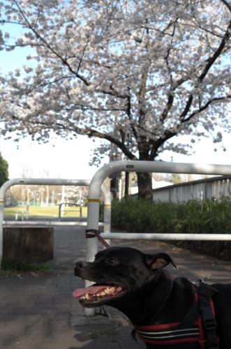 2015お花見散歩8