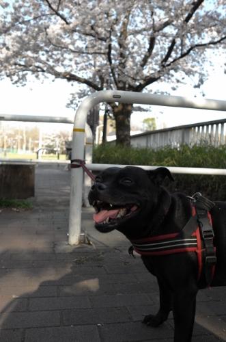2015お花見散歩9
