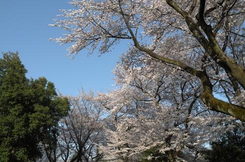 2015お花見散歩12