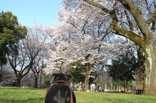 2015お花見散歩13