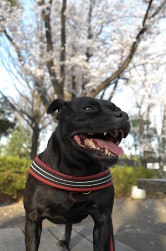 2015お花見散歩14