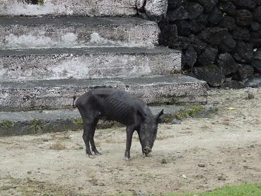 20141123 豚らしくない豚