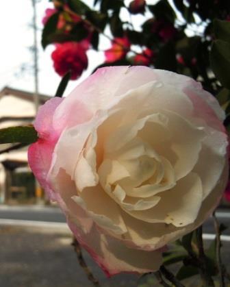 山茶花3(2014-12-04)