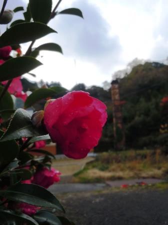 山茶花4(2014-12-04)