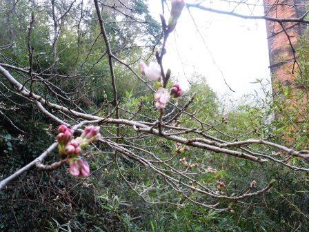 桜1(2015-03-22)