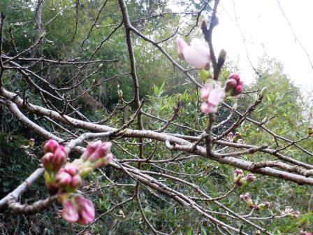 桜3(2015-03-22)