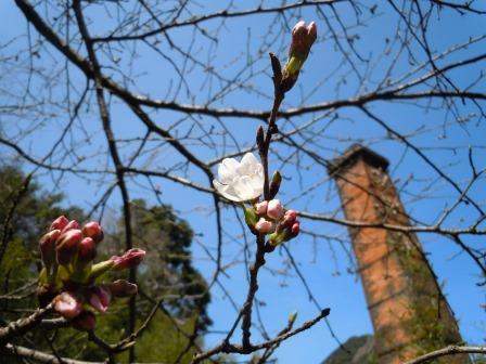 桜1(2015-03-23)