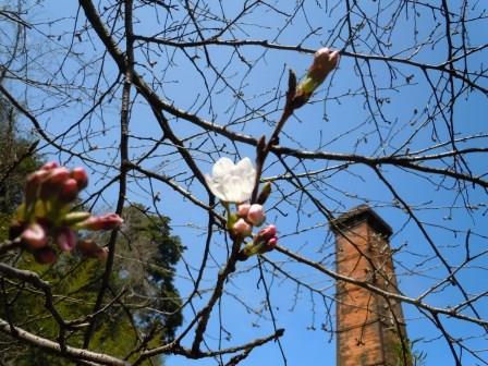 桜3(2015-03-23)