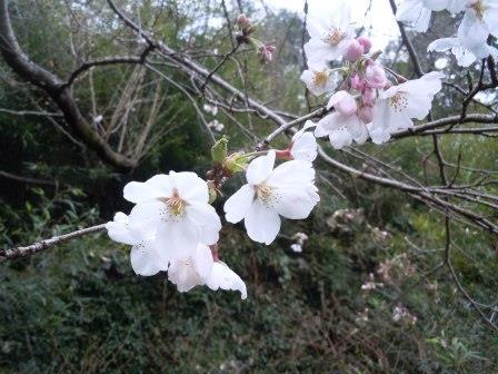 桜4(2015-03-28)