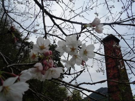 桜5(2015-03-28)
