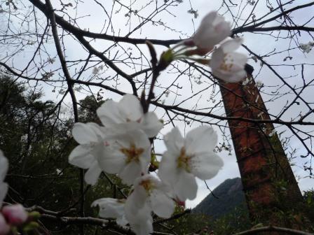 桜6(2015-03-28)