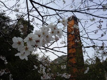 桜1(2015-04-01)